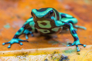 Green and black poison dart frog (Dendrobates auratus), La Selva Field Station, Costa Rica.  -  Phil Savoie