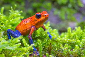 Strawberry poison dart frog  (Oophaga pumilio) La Selva Field Station, Costa Rica. - Phil Savoie