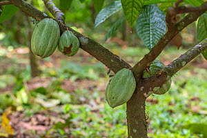 Cacao / Chocolate (Theobroma cacao) plant with ripening seed pods, Costa Rica.  -  Phil Savoie