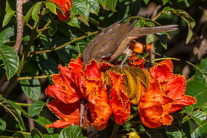 Clay-colored robin (Turdus grayi), drinking from flower ofAfrican tulip tree (Spathodea campanulata) Costa Rica. This tree is an invasive species. - Phil Savoie