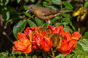 Clay-colored robin (Turdus grayi), drinking from flower of African tulip tree (Spathodea campanulata) Costa Rica. This tree is an invasive species. - Phil Savoie