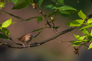 House Wren (Troglodytes aedon) with insect prey to feed young,  New York, USA.  -  Phil Savoie