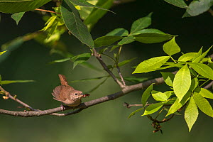 House Wren (Troglodytes aedon) with cockroach prey to feed young, New York, USA.  -  Phil Savoie