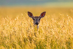 Mule deer (Odocoileus hemionus) in long grass, Madison Mountains, Montana, USA. September. - Phil Savoie
