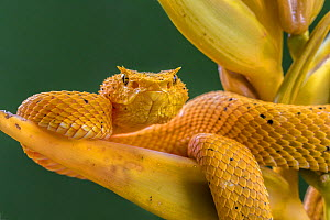 Eyelash viper (Bothriechis schlegelii) waiting on Heliconia flower (Heliconia lankasteri) to ambush hummingbird prey, 'Golden colour morph' La Selva, Costa Rica. - Phil Savoie