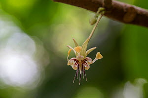 Cacao / Chocolate (Theobroma cacao) plant with flowers, Costa Rica. - Phil Savoie
