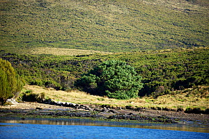 'World's Loneliest Tree' a Sitka spruce (Picea sitchensis) which is over 200km from nearest tree (Auckland Islands) Campbell Island New Zealand Sub-Antarctic Islands UNESCO World Heritage Site, March... - Mike Potts