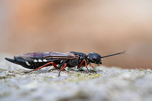 Wood wasp (Xiphydria camelus) Bavaria, Germany, May.  -  Konrad  Wothe