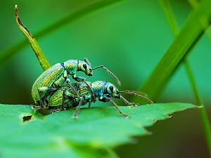 Weevils (Phyllobius arborator) mating, Upper Bavaria, Germany, May. - Konrad  Wothe