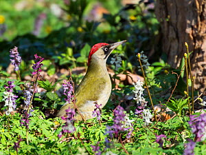 Green woodpecker (Picus viridis)  female,  in Hollow corydalis (Corydalis cava) flowers,Germany, March. - Konrad  Wothe