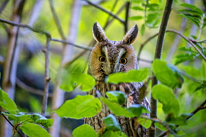 Long-eared owl (Asio otus) Bavarian forest National Park, Germany, May. Captive.  -  Konrad  Wothe