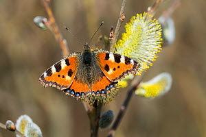 Tortoiseshell butterfly (Aglais urticae) on pussy willow (Salix caprea) flower, Bavaria, Germany, March.  -  Konrad  Wothe