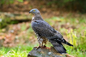Honey buzzard (Pernis apivorus) male, Bavarian Forest National Park, Germany, May. - Konrad  Wothe