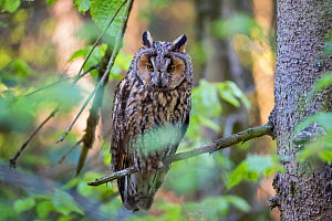 Long-eared owl (Asio otus) Bavarian forest National Park, Germany, Europe  Captive.  -  Konrad  Wothe