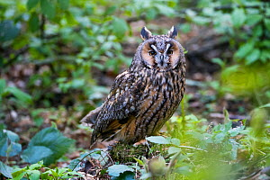 Long-eared owl (Asio otus) Bavarian forest National Park, Bavaria, Germany, May. Captive.  -  Konrad  Wothe