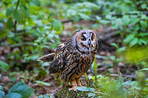 Long-eared owl (Asio otus) swallowing mouse, Bavarian forest National Park, Germany, May. Captive.  -  Konrad  Wothe