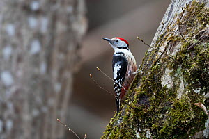 Middle spotted woodpecker (Dendrocopos medius) Bavaria, Germany. March.  -  Konrad  Wothe