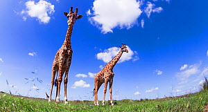 Maasai giraffe (Giraffa camelopardalis tippelskirchi) and calf walking - remote camera perspective. Maasai Mara National Reserve, Kenya.  -  Anup Shah