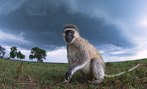 Vervet monkey (Cercopithecus aethiops) female watching with curiosity, taken with remote camera perspective.Maasai Mara National Reserve, Kenya. - Anup Shah