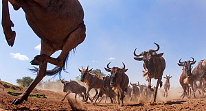 Eastern White-bearded Wildebeest (Connochaetes taurinus) herd on the move,  taken with  remote camera. Maasai Mara National Reserve, Kenya. July 2014.  -  Anup Shah