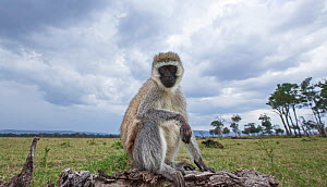 Vervet monkey (Cercopithecus aethiops) sitting on a fallen tree, remote camera image. Maasai Mara National Reserve, Kenya. - Anup Shah