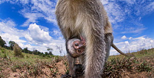 Vervet monkey (Cercopithecus aethiops) rear view of female with suckling baby peering with curiosity - remote camera perspective. Maasai Mara National Reserve, Kenya. - Anup Shah