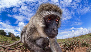 Vervet monkey (Cercopithecus aethiops) female and baby peering with curiosity - remote camera perspective. Maasai Mara National Reserve, Kenya. - Anup Shah