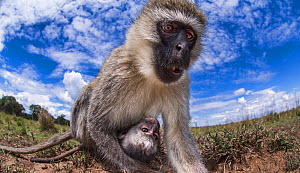 Vervet monkey (Cercopithecus aethiops) female and baby peering with curiosity - remote camera perspective.  Masai Mara National Reserve, Kenya, December. - Anup Shah