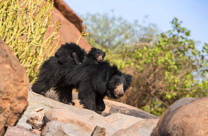 Sloth bear (Melursus ursinus) cub riding on mothers back, Daroiji Bear Sanctuary, Karnataka, India. - Yashpal Rathore