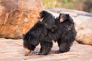 Sloth bear (Melursus ursinus) cubs riding on mothers back, Daroiji Bear Sanctuary, Karnataka, India. - Yashpal Rathore