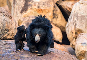 Sloth bear (Melursus ursinus) mother with cubs, one climbing onto her back, Daroiji Bear Sanctuary, Karnataka, India.  -  Yashpal Rathore