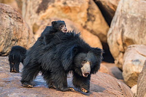 Sloth bear (Melursus ursinus) mother with cubs, with one on her back, Daroiji Bear Sanctuary, Karnataka, India.  -  Yashpal Rathore