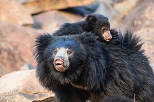 Sloth bear (Melursus ursinus) mother with cub on her back, Daroiji Bear Sanctuary, Karnataka, India.  -  Yashpal Rathore