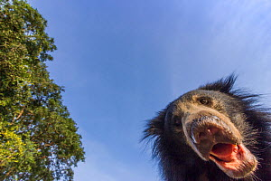 Sloth bear (Melursus ursinus) low angle portrait, Daroiji Bear Sanctuary, Karnataka, India. Remote camera image.  -  Yashpal Rathore