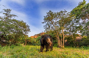 Sloth bear (Melursus ursinus) Daroiji Bear Sanctuary, Karnataka, India.  -  Yashpal Rathore