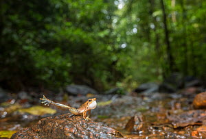 Kottigehar dancing frog (Micrixalus kottigeharensis) male calling  and displaying to attract female by waving foot, Agumbe, Western Ghats, India.  -  Yashpal Rathore
