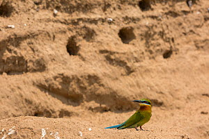 Blue-tailed bee-eater (Merops philippinus) sitting near nest holes on riverbank, Ranganathittu Bird Sanctuary, Karnataka, India. - Yashpal Rathore
