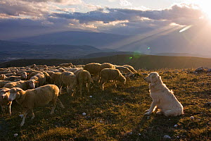 Maremma Sheepdog with sheep, Gran Sasso National Park, Abruzzo, Italy, June  -  Bruno D'Amicis