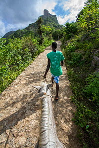 Guide leading visitor's horse  up to La Citadelle fortress, UNESCO World Heritage Site, Haiti. August 2016.  -  Eladio Fernandez