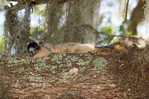 Sherman's fox squirrel (Sciurus niger shermani) North Florida, USA, May. - Barry Mansell