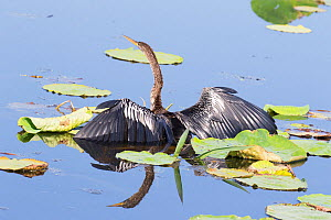 Anhinga (Anhinga anhinga) male half immersed in water, while hunting, Everglades, South Florida, USA, May. - Barry Mansell