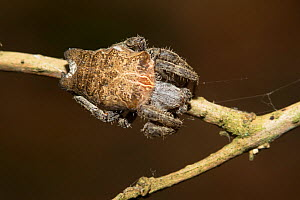 Tropical tent-web spider (Cyrtophora citricola) female, Florida,USA, May. - Barry Mansell