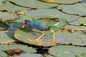 Purple gallinule (Porphyrula martinica) hunting amngst lily pads,  Florida, USA, May.  -  Barry Mansell