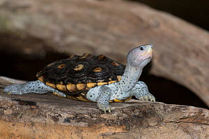 Northern diamondback terrapin (Malacemmys terrapin terrapin) North Florida,USA, April. - Barry Mansell