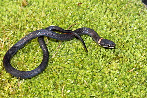 Southern ringneck snake (Diadophis punctatus punctatus) North Florida, USA. Controlled conditions. - Barry Mansell