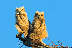 Great horned owl(Bubo virginianus) chicks, Floridia, USA, February. - Barry Mansell