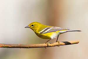 Pine warbler (Dendroica pinus) male, North Florida, USA, February. - Barry Mansell