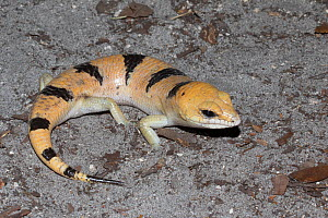 Peters banded skink (Scincopus fasciatus)  captive, occurs in Morocco. - Barry Mansell