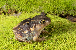 Eastern spadefoot toad (Scaphiopus holbrookii) Florida, USA, August. Controlled conditions. - Barry Mansell