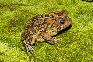 Southern toad (Anaxyrus terrestris) Florida, USA, August. Controlled conditions. - Barry Mansell